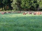 Elk in the area.