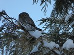 Pygmy Owls frequent the area