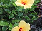 Beautiful Hibiscus flowers! Right by the lanai.