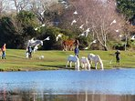 Meet the ponies and donkeys around Hatchet Pond, near Beaulieu