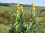 La Gentiane en fleur à coté du Buron d'Air Aubrac