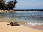 Turtle resting at Poipu Baby Beach