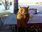 Great Horned Owl wishing us a good morning