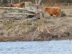 Some highland cows across the River Dee.