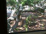 Nice view out one of the many windows of the porch onto the Live Oak.
