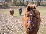 'Harley' our Icelandic pony