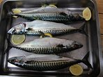 catch mackerel for a delicious fresh dinner