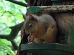 Red squirrel at nearby Inchree.
