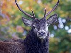 A stag in autumn.