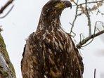 A juvenile Sea Eagle taken from the roadside in Kingairloch.