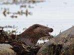 An otter on Loch Linnhe.