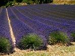 La Drôme Provençale, pays de la lavande, en fleurs de mi-juin à mi juillet