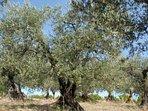 Nyons célèbre pour ses oliviers, ses olives, son huile et ses moulins...