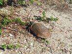 Our next door neighbor, Mr. Turtle.