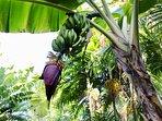 Bananas growing outside of third bedroom window