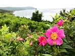 Wild Roses at the Cottage (Guest Photo - Dan H)