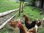 Unsere Hühner liefern jeden Tag ein Frühstücksei