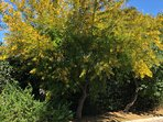 Mimosa de la résidence