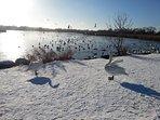 Winter birds in Utterslev Mose