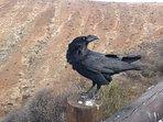 Fuerteventura, cuervo, ave de la buena suerte. En comedero esperando su comida