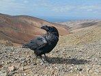 Fuerteventura, cuervo, ave de la buena suerte