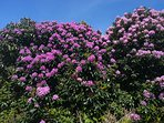 Rhododendron in full bloom in lauragh