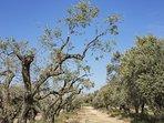 Huile d'olive bio, de notre production.
