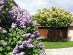 Jardín, lilos en flor