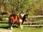 Meet your new neighbor! Princess Pumpkin the Shetland Pony.