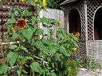 Sunflower patch and gazebo.