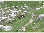 Chamois on the road