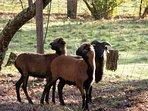Parc Animalier - Moutons du Cameroun
