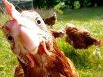 Meet our free range ex battery hens.