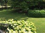 Stunning Hydrangea growing in abundance in garden