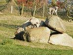 les agneaux se prennent pour des chamois !!!