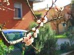 Albero di albicocche in fiore.