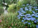 Les hortensias en fleurs à L'Ensouleiado