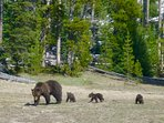 Mother grizzly with cups, near Roaring Mountain, YNP.
