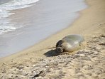 Seal on Waipouli Beach