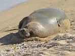 Seal on Waipouli Beach Closeup