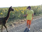 Promenade avec les Alpagas