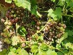 An abundance of sweet grapes in the garden