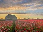 Bloemenvelden bij Poortvliet