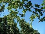 A l'Ancien Moulin - Il s'élance au ciel pour produire une des meilleures bières...