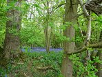 Beautiful blue bell ancient woodland only minutes away along the Essex Way
