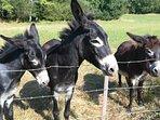 Les ânes de Michel au domaine de Geneviève des vignes hébergements de vacances en Périgord Dordogne
