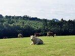 Muckno Lodge friendly cows