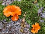 Aleuria aurantia is a widespread ascomycete fungus......we call it Orange Peel!