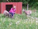 fåren är lite skygga, men ibland kan man komma nära