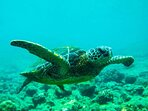 Beautiful Honus often seen swimming in our oceans while snorkeling